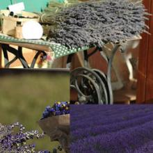 Lavender Plants Collection