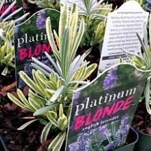 Lavender Platinum Blonde