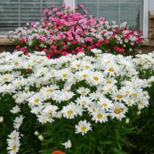 Daisy May Shasta Daisy | Leucanthemum