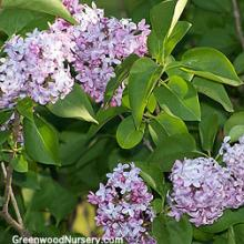 Old Fashion Lilac Shrubs