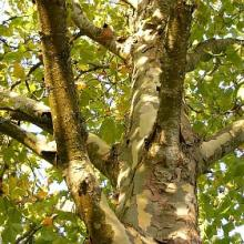 London Plane Tree | Platanus × acerifolia