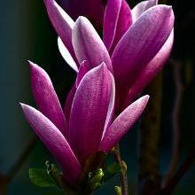 Magnolia Jane