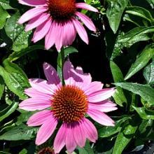 Magnus Echinacea purpurea