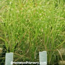 Miscanthus sinensis Strictus Grass