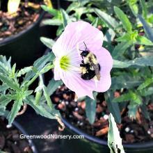 Oenothera Siskiyou | Pink Evening Primrose