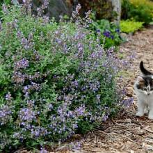Nepeta Cat's Meow Catmint