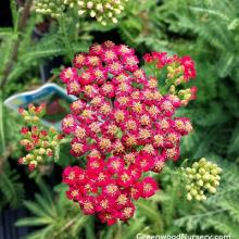 New Vintage Red Yarrow