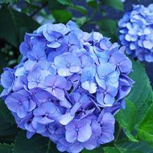 Nikko Blue Hydrangea Shrub
