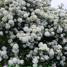 Old Fashioned Snowball Viburnum
