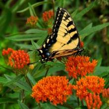 Orange Butterfly Weed - Asclepias tuberosa