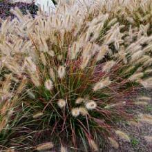 Desert Plains Pennisetum Grass