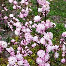 Pink flowering almond flowering shrubs pink flowering almond mightylinksfo