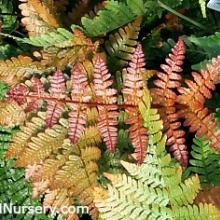 Autumn Radiance Fern