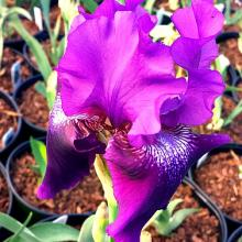 Rosalie Figge Iris Reblooming Iris