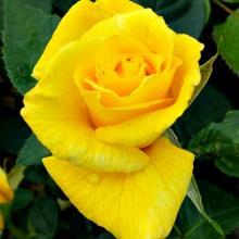 Sunsprite Rosa Floribunda Rose
