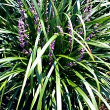 Royal Purple Liriope | Lilyturf