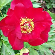 Paeonia Scarlet Heaven Itoh Peony