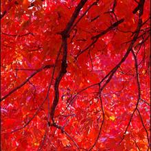 Scarlet Red Maple Tree