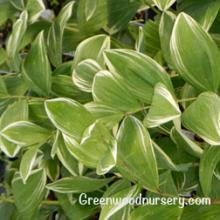 Solomon's Seal Variegated