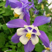 Aquilegia Spring Magic Blue and White Columbine