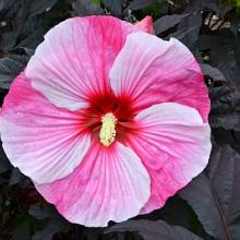 Hibiscus Starry Starry Night - Gallon Pot - 1 Plant
