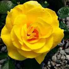 Sunny Knockout Rose Bushes