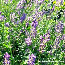 SuperBlue English Lavender