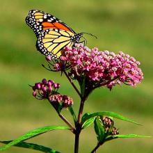 Swamp Rose Milkweed