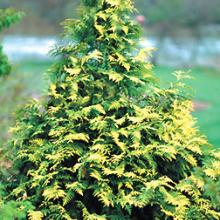 Techny Gold Arborvitae