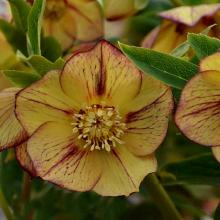 Tropical Sunset Helleborus