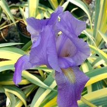 Iris pallida Aureo Variegated