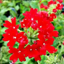 Verbena Homestead Red