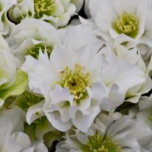 Wedding Bells Helleborus
