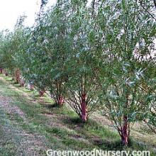 Willow Hybrid Trees