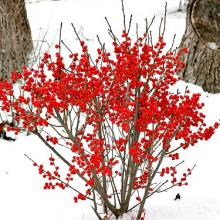 Berry Poppins Winterberry Holly