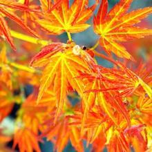 Acer palmatum Bonfire