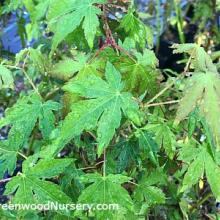 Green Japanese Maple