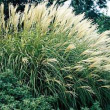 Adagio Miscanthus Maiden Grass