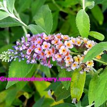 Bicolor Butterfly Bushes