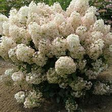 Bobo Dwarf Hydrangea Bush