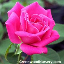 Double Knockout Pink Rose Bushes