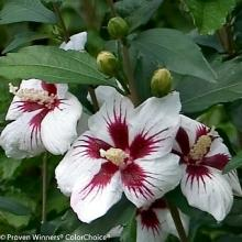 Lil Kim Rose of Sharon Hibiscus