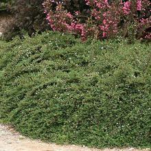 Little Dipper Cotoneaster