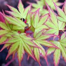 Japanese Coral Bark Maple