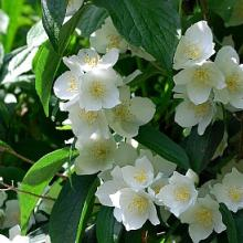 Mock Orange Bushes