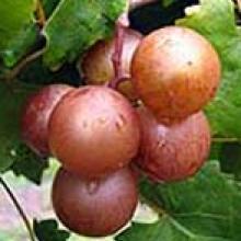 Muscadine Grape Darlene