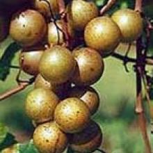 Muscadine Grape Late Fry