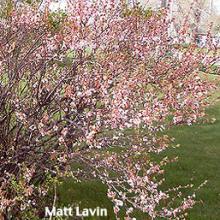 Nanking Cherry Prunus tomentosa