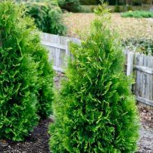Polar Gold  Arborvitae Thuja Evergreen Tree