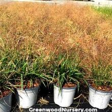 Eragrostis spectabilis | Purple Lovegrass